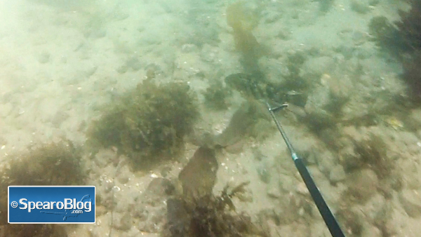 Back to Basics – Spearfishing with a Polespear