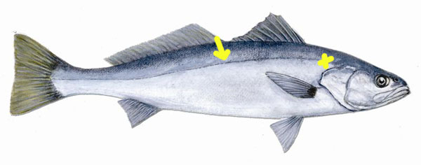 White-Seabass-Lateral-Line