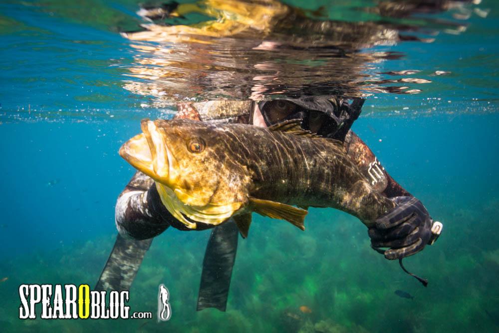Spearfishing Calico Bass